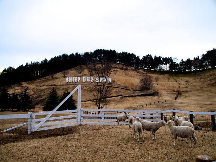 伊香保グリーン牧場の羊たち