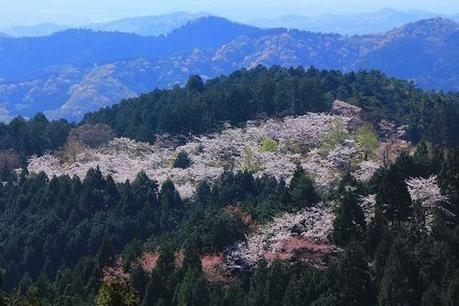 高尾山に咲いた桜の様子