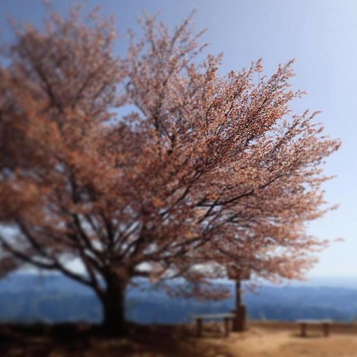 棒ノ折山の桜