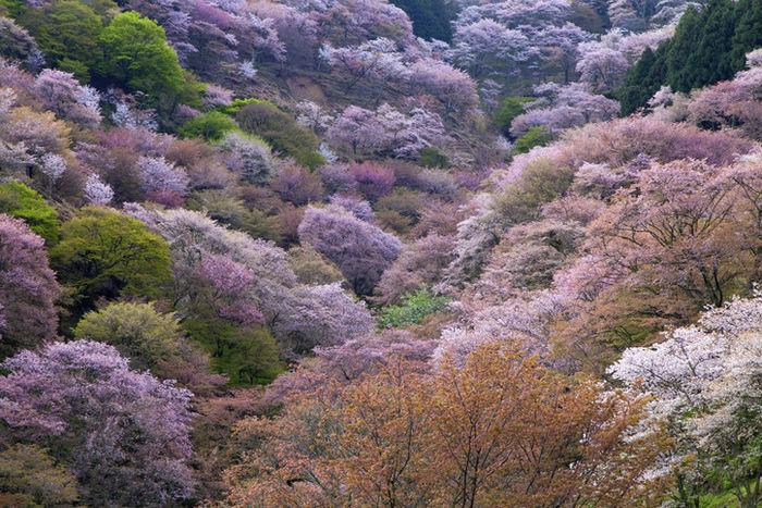 山に咲いている桜の木々