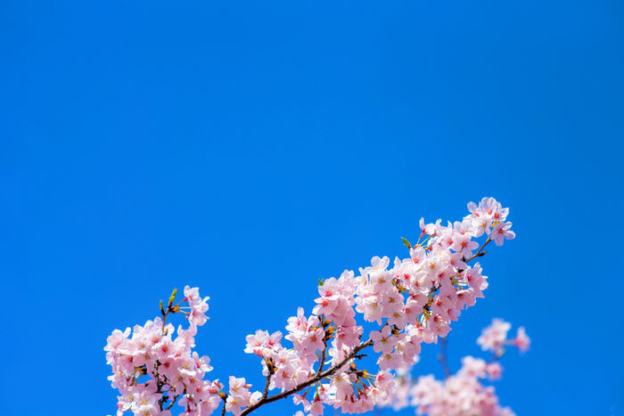 青空に生える桜