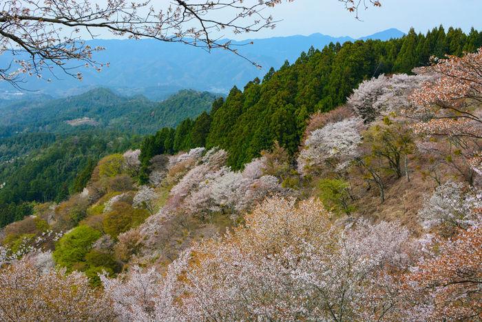 西行庵の桜