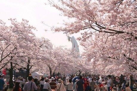万博記念公園の満開の桜