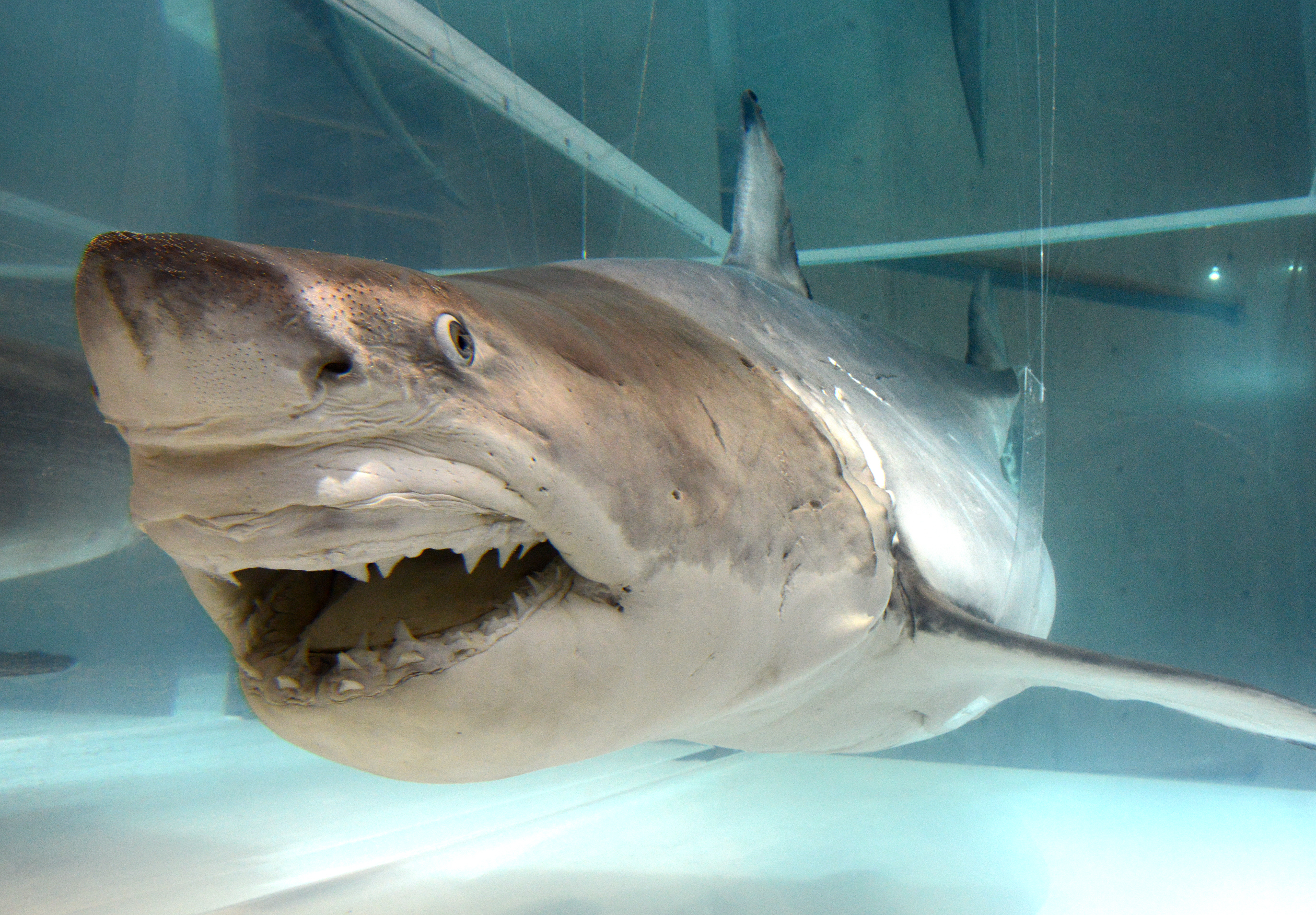 Researchers Are Shedding Light On The Mysterious Great White Shark Nikkei Asia