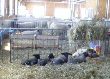 元野幌の農場でヒツジがお産ラッシュ!
