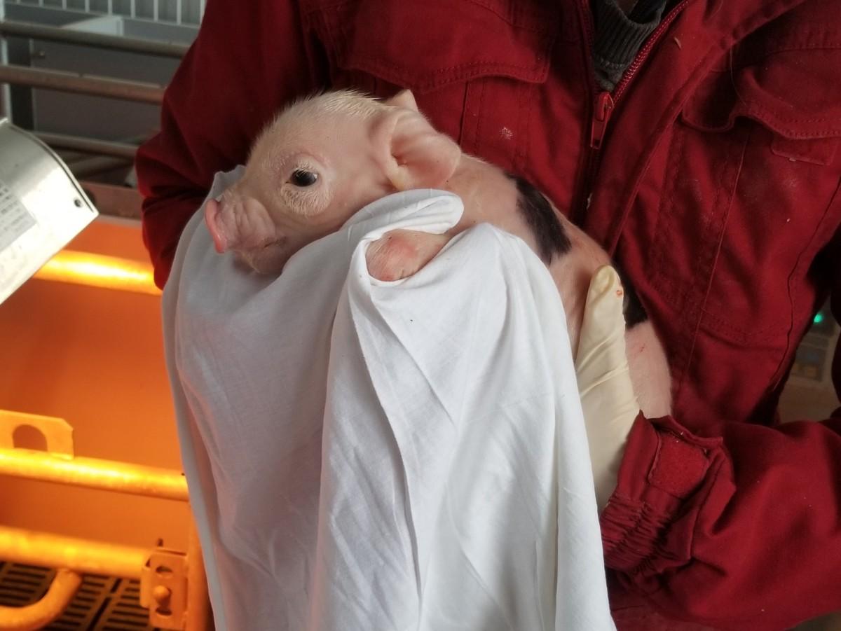 獣医保健看護学類の実習で豚のお産介助を学ぶ
