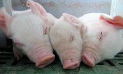 本学山田未知准教授と岩﨑智仁教授が日本オラクル株式会社と共同で「豚の分娩開始時刻をAIやIoTの技術を利用して予測する実証研究」を実施中