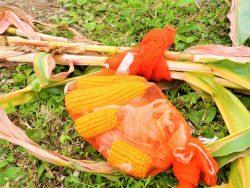 学内の圃場で循環農学類3年生がトウモロコシの収量調査・計量を実施