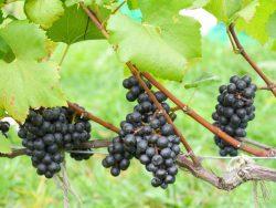 """本学ワインサークル""""ROWP""""が今年度のブドウの収穫を実施"""