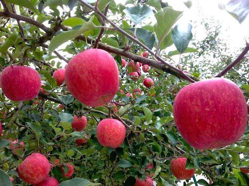 11月にりんごを買うなら「山形産」がイチオシな理由