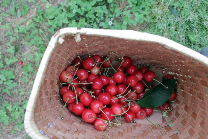 はじめての「さくらんぼ収穫」