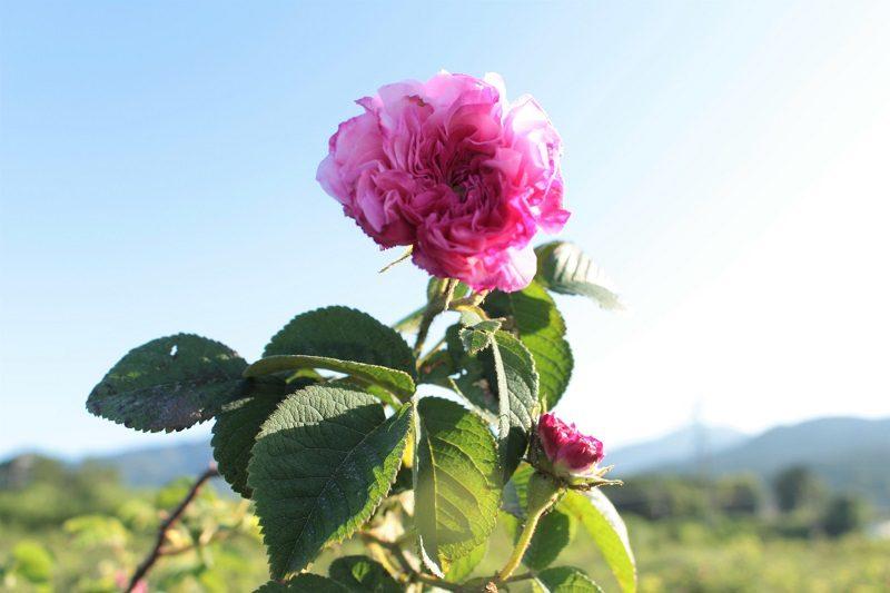 バラを育てた半世紀