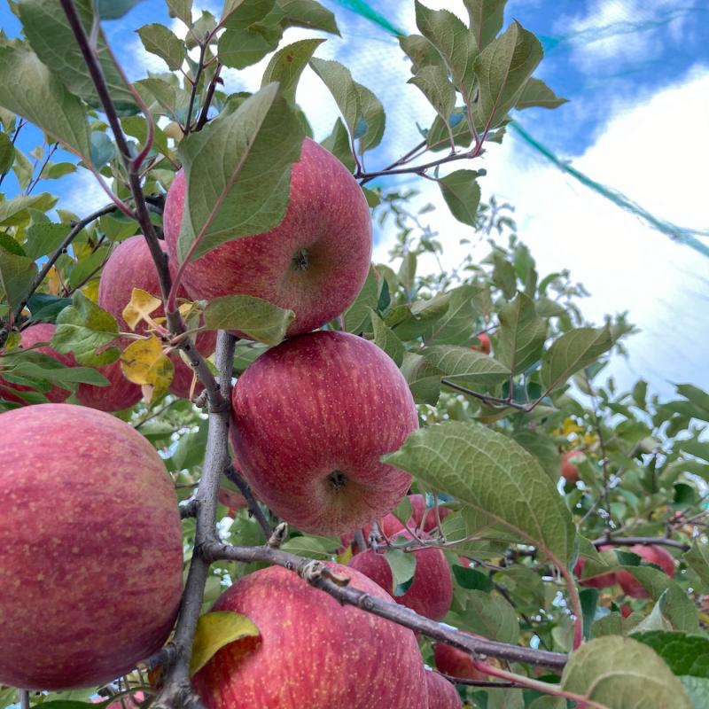 食彩やまがた12カ月 霜月「リンゴ」