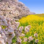 関東の花見おすすめ名所5選!絶景ポイントを紹介