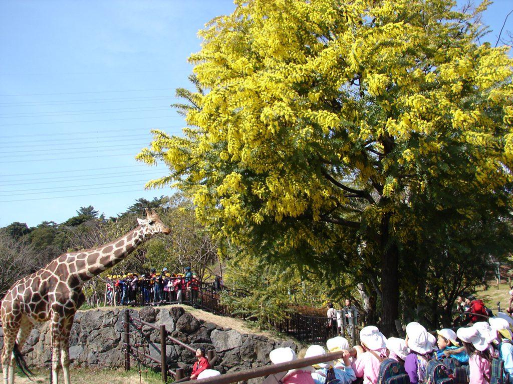 黄色のミモザとキリン/到津の森公園(福岡県北九州市)