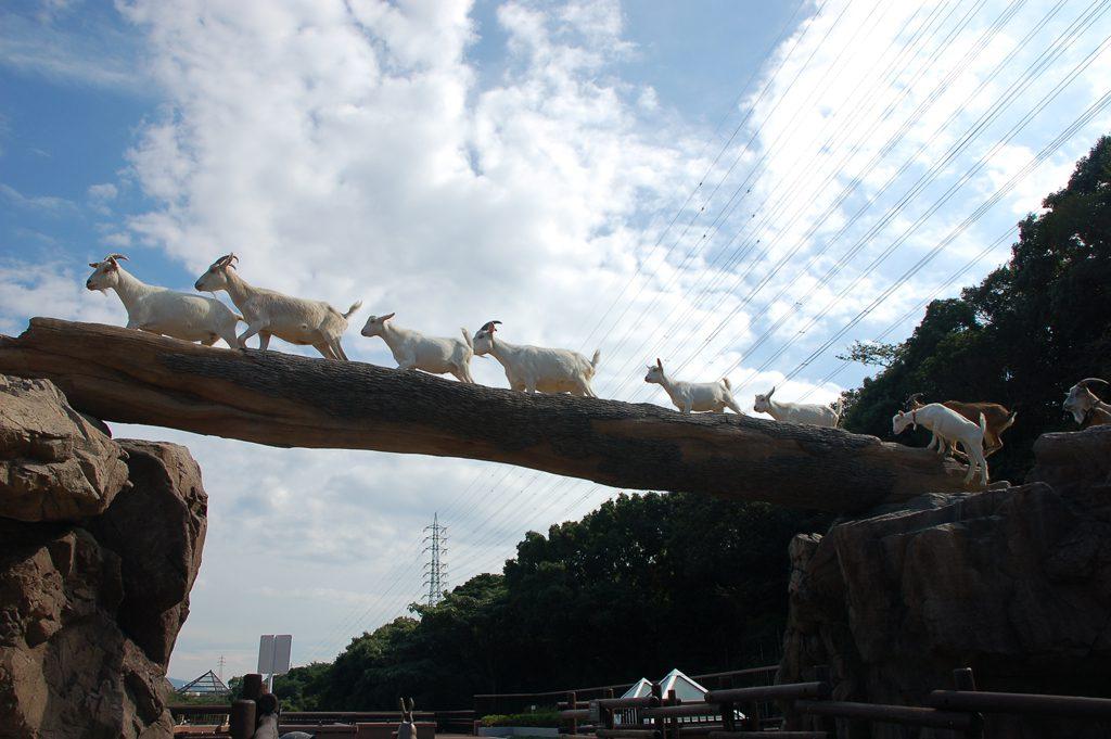 ヤギたちが並んで丸太の橋を渡る「ヤギの橋渡り」/到津の森公園(福岡県北九州市)