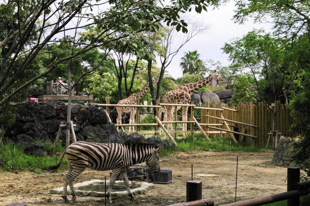 「草原の世界」のシマウマやキリン/到津の森公園(福岡県北九州市)