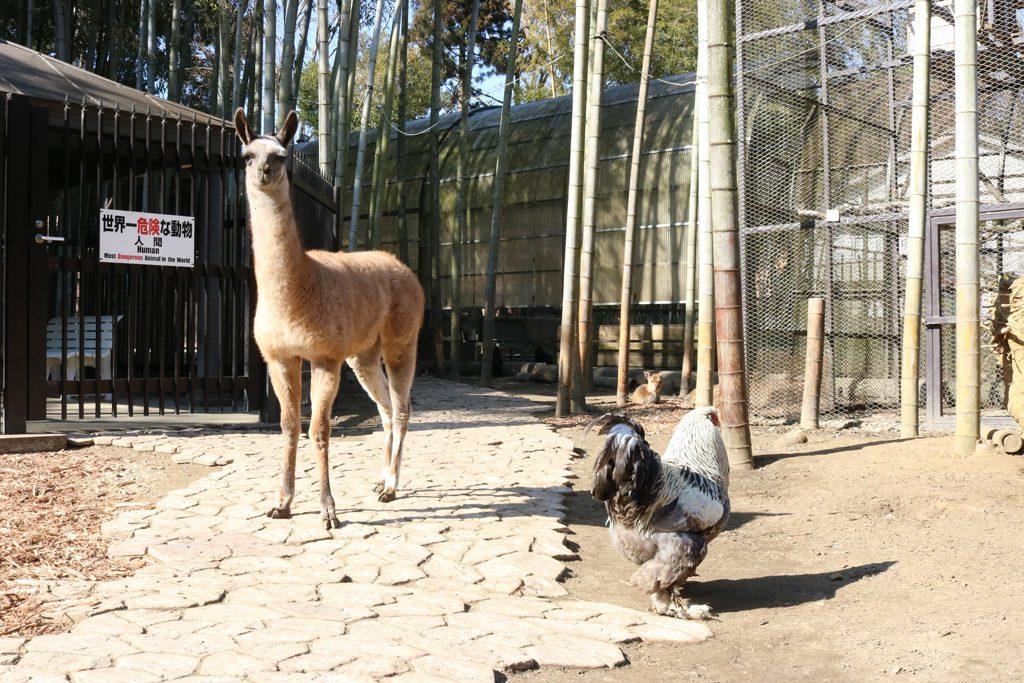 フェンスの中に入るとラマなどが放し飼いにされている/サユリワールド(千葉県/市原市)