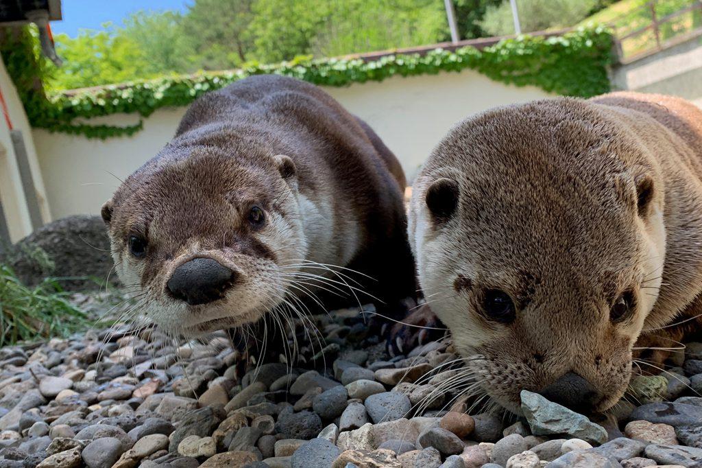 カナダカワウソ/盛岡市動物公園(岩手県/盛岡市)