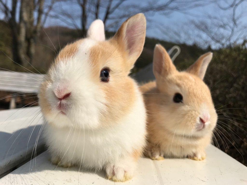「こどもどうぶつえん」のウサギ/盛岡市動物公園(岩手県/盛岡市)