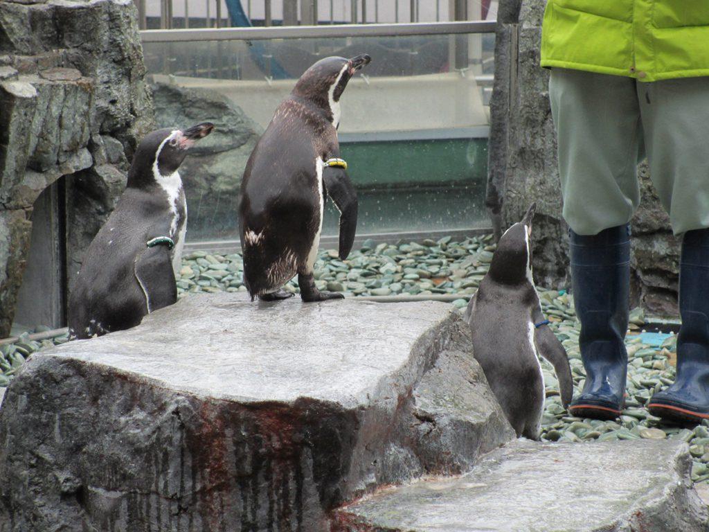 ペンギンのエサやりショー/姫路市立水族館(兵庫県/姫路市)