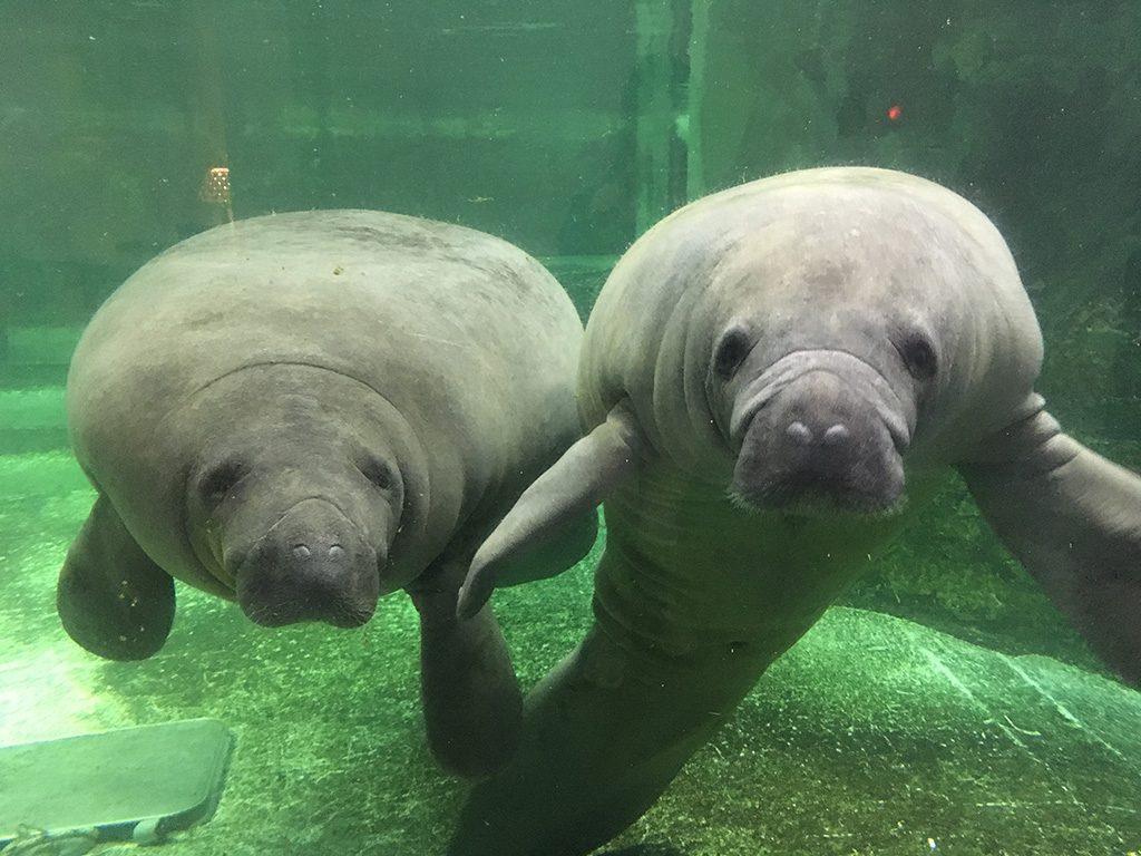 珍獣アメリカマナティー/新屋島水族館(香川県/高松市)