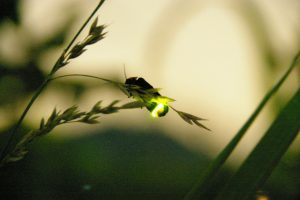 ホタル観賞Q&A(飛ぶ条件や時間は?なぜ光る?)生態やマナーもチェック