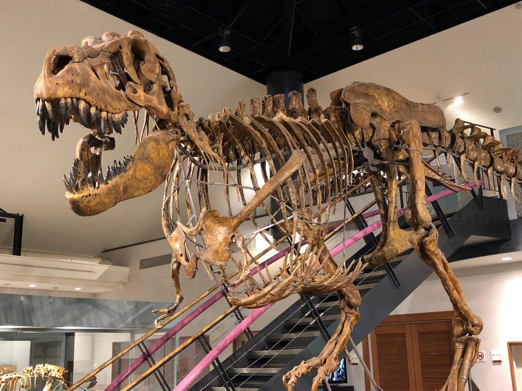 恐竜タルボサウルスの骨格標本/神流町恐竜センター(群馬県)