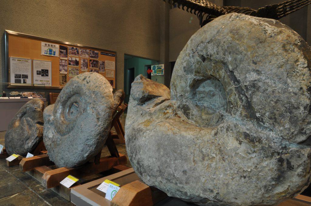 アンモナイト化石/むかわ町穂別博物館(北海道)