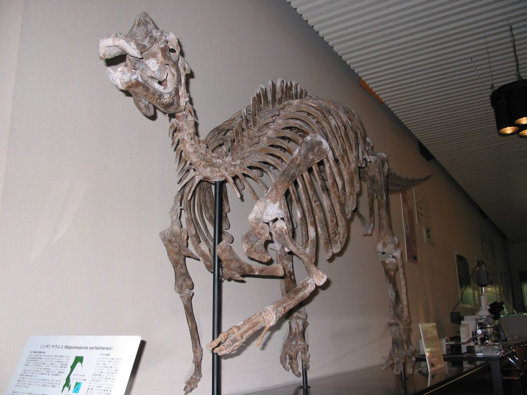 ニッポノサウルスの全身骨格標本/北海道大学総合博物館(札幌市)