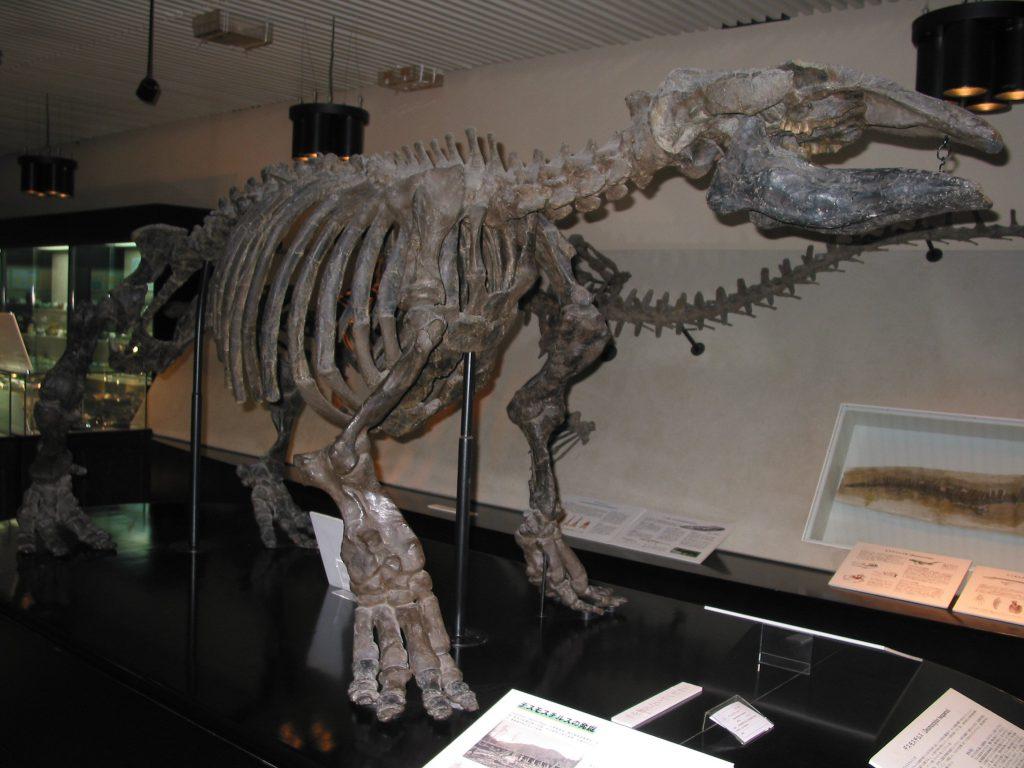 デスモスチルスの全身骨格標本/北海道大学総合博物館(札幌市)