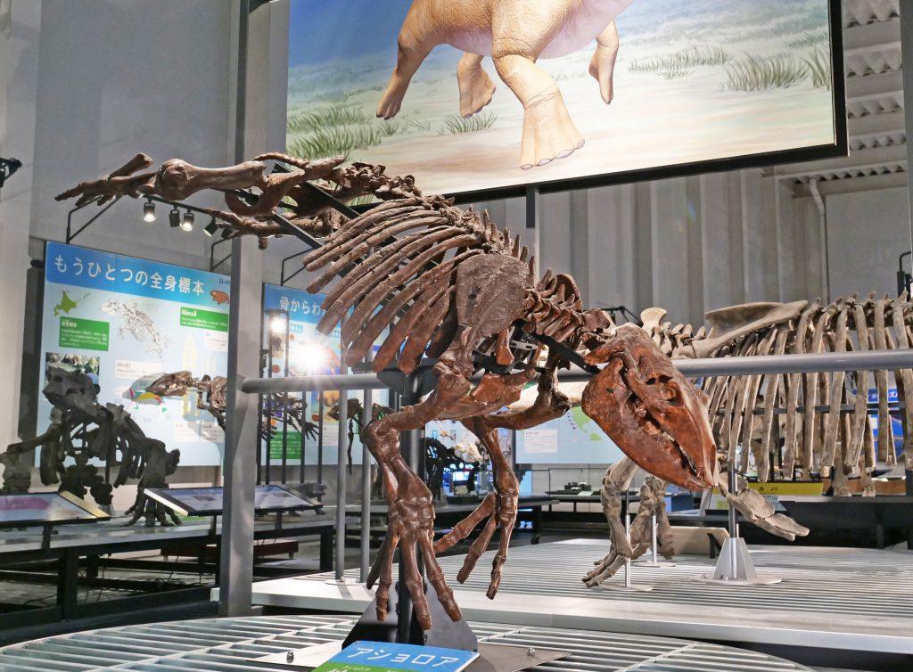 原始的な束柱類アショロアの骨格/足寄動物化石博物館(北海道)