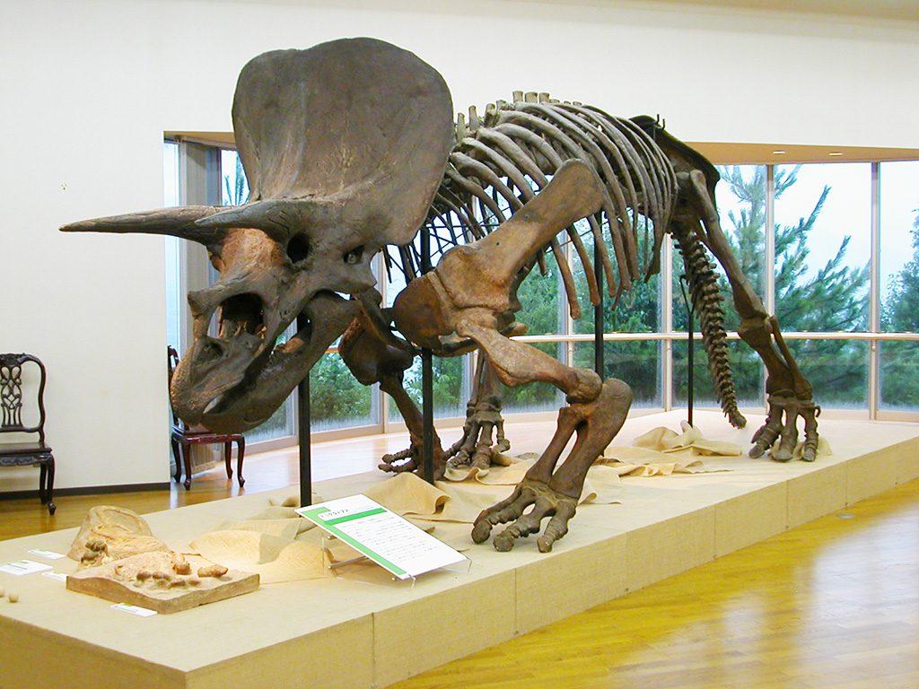 「トリケラトプス」(全身骨格標本)/明石市立文化博物館(兵庫県)