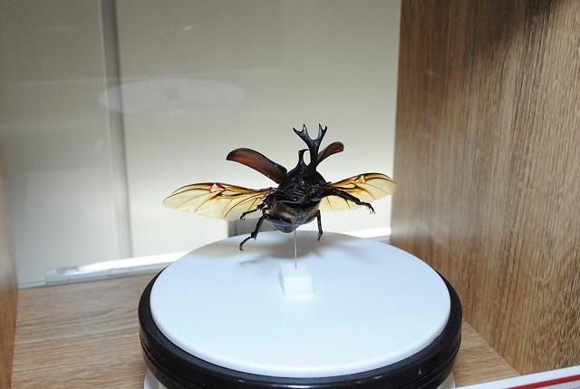 飛んでいる姿のカブトムシが観察できる「360°標本」/大昆虫展in東京スカイツリータウン(東京都)