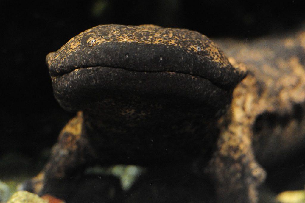 希少なオオサンショウウオのアップ/京都水族館(京都府/京都市)