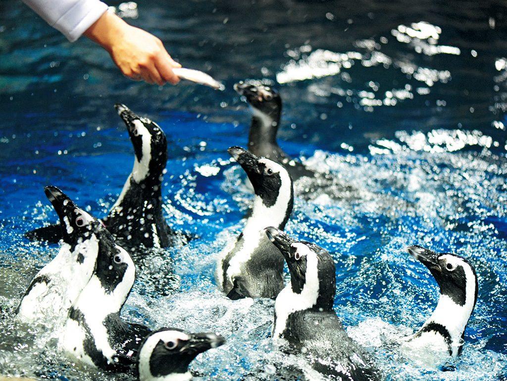 飼育スタッフがペンギンの名前を呼びながらごはんをあげる食事シーン/京都水族館(京都府/京都市)