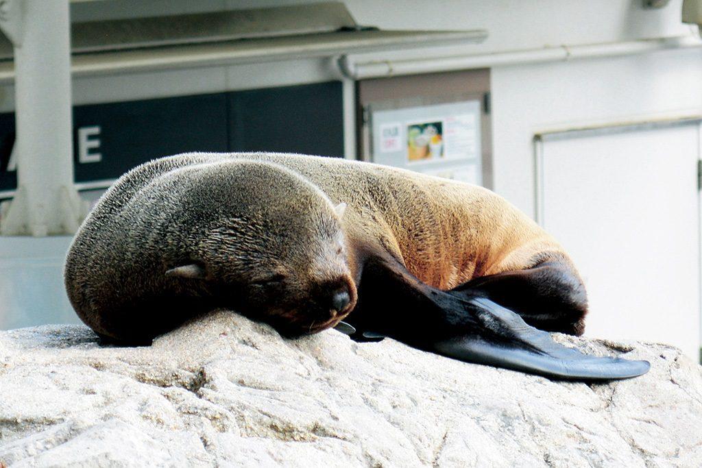 気持ちよさそうに眠るオットセイ/京都水族館(京都府/京都市)