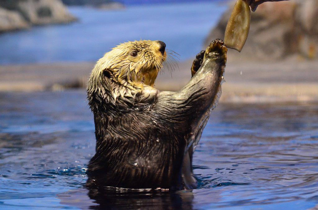 餌をもらうラッコはかわいさ満点/新潟市水族館マリンピア日本海(新潟県/新潟市)