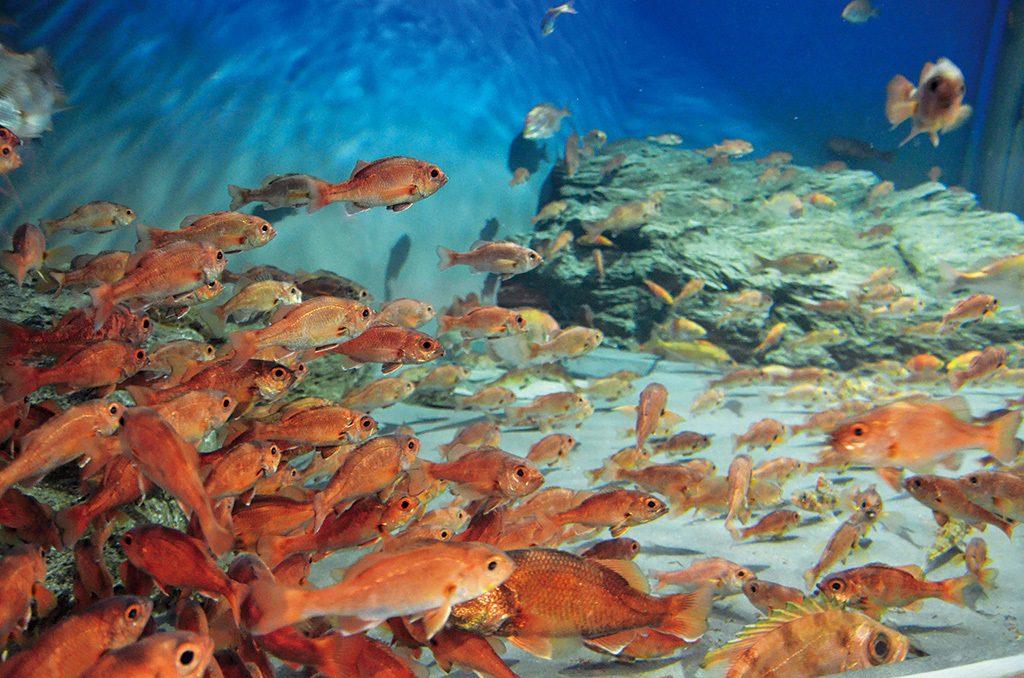 アカムツ(ノドグロ)水槽は赤が鮮やか/新潟市水族館マリンピア日本海(新潟県/新潟市)