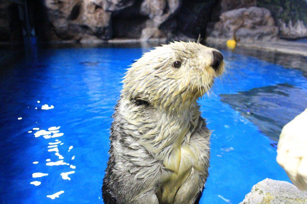 顔を出したかわいいラッコ/新潟市水族館マリンピア日本海(新潟県/新潟市)