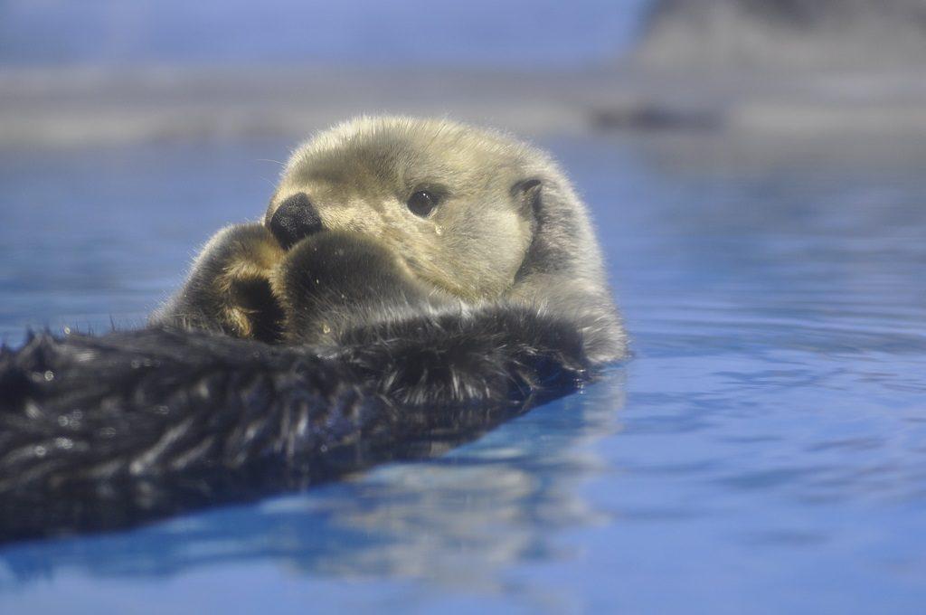 仰向けになって浮かぶラッコ/新潟市水族館マリンピア日本海(新潟県/新潟市)
