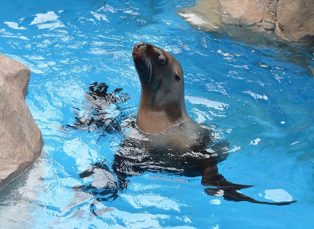 カリフォルニアアシカ/新潟市水族館マリンピア日本海(新潟県/新潟市)