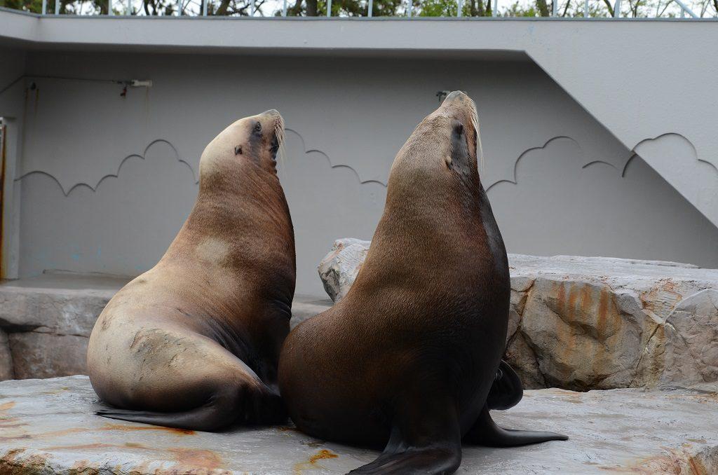 どっしりとしたトド/新潟市水族館マリンピア日本海(新潟県/新潟市)