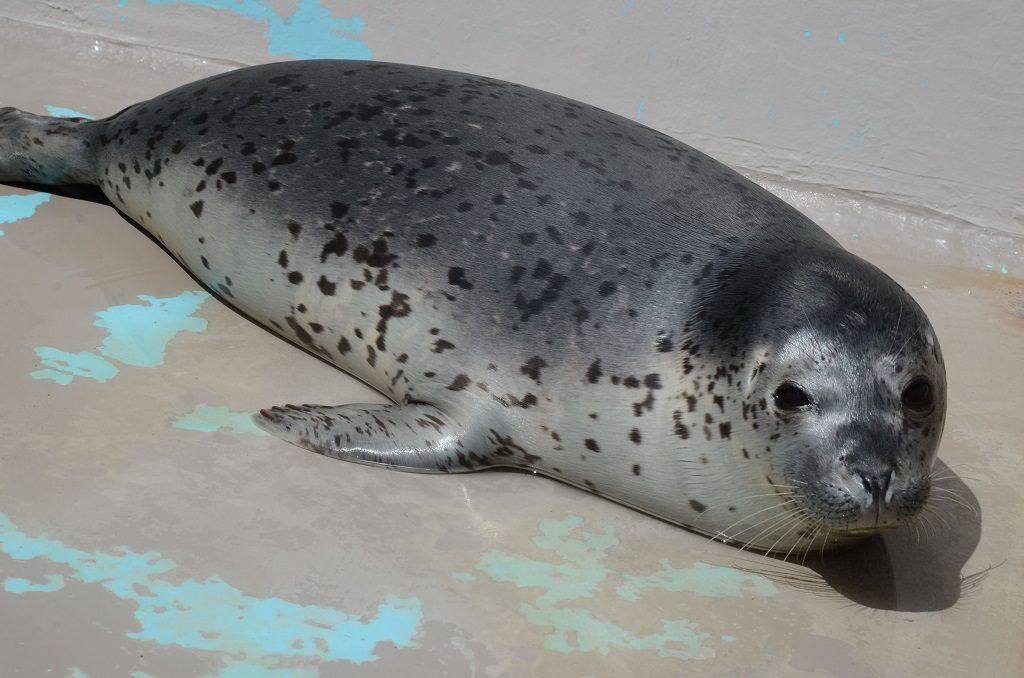 かわいいゴマフアザラシ/新潟市水族館マリンピア日本海(新潟県/新潟市)
