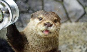 カワウソと握手ができる水族館10選!エサをあげたりふれあい体験が楽しい
