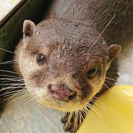 つぶらな瞳がかわいいコツメカワウソ/下田海中水族館(静岡県/下田市)