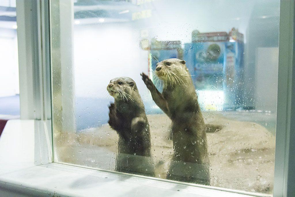 ガラス越しに近寄ってくるカワウソ/のとじま水族館(石川県/七尾市)