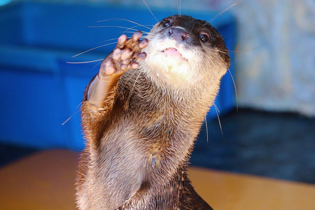 カワウソの小さな手のプニプニ肉球が見えます/桂浜水族館(高知県/高知市)