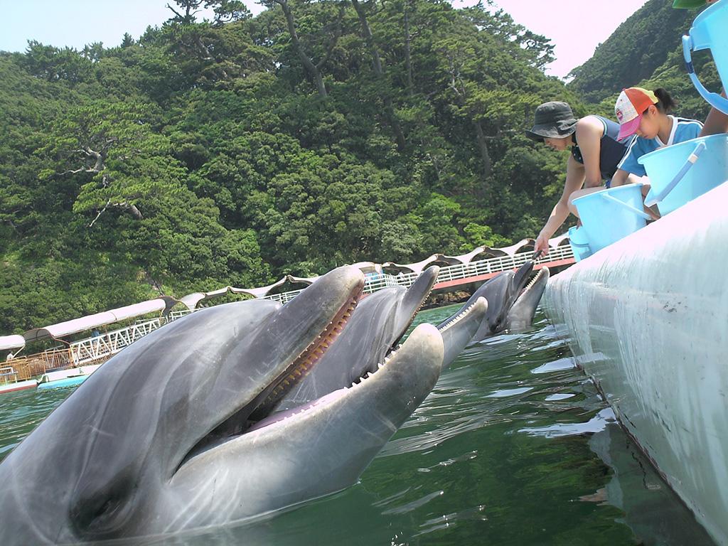 「ドルフィンフィーディング」でエサやり体験/下田海中水族館(静岡県)