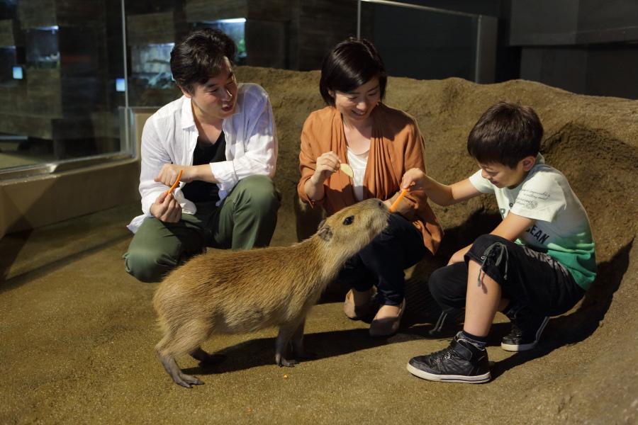 エサやり体験でごはんを食べるカピバラ/マクセル アクアパーク品川(東京都/港区)